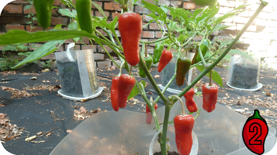 apache nasiona na parapet balkon chili papryka