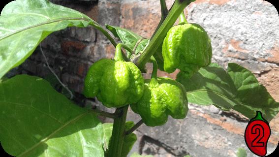 papryka carolina reaper nasiona hot chili na parapet balkon ostre papryki