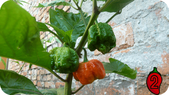 papryka carolina reaper nasiona hot chili na parapet balkon ostre papryki chilli