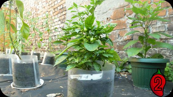 habanero white nasiona chili na parapet balkon peruvian chilli ostre