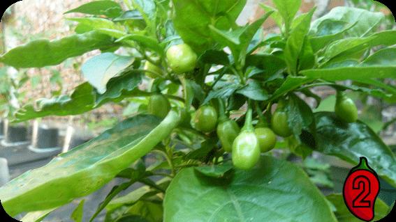 habanero white nasiona chili na parapet balkon peruvian chilli ostre papryki