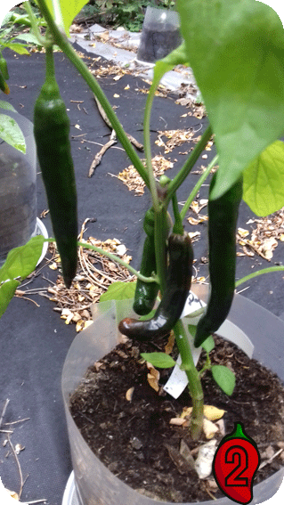 papryka peperoni nasiona chili na parapet balkon pepperoni uprawa ostra