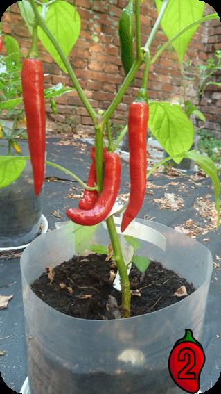 peperoni nasiona chili na parapet balkon pepperoni uprawa ostra papryka