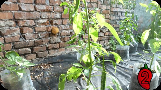 papryka naga jolokia mini nasiona chili na parapet balkon chilli