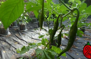 paprykatrinidad mini nasiona chili na parapet balkon chilli