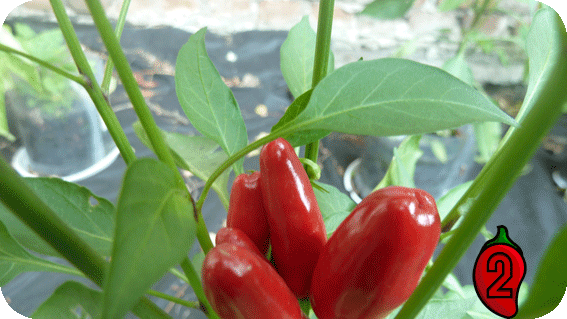 Bird's Eye papryka nasiona hot chili na parapet balkon ostre papryki chilli seeds