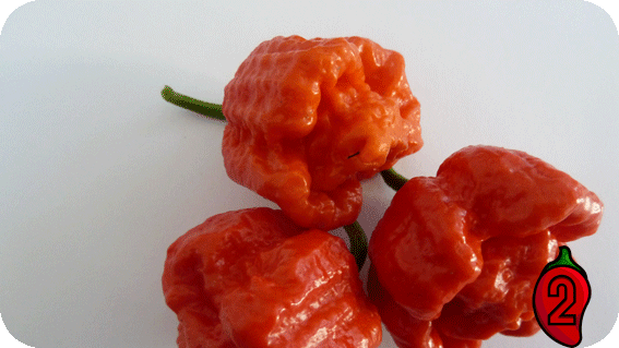 papryka carolina reaper nasiona hot chili na parapet balkon ostre papryki chilli sos