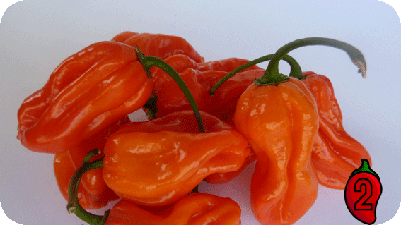 habanero orange carolina reaper nasiona hot chili na parapet balkon ostre papryki chilli sos