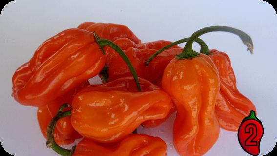habanero orange carolina reaper nasiona hot chili na parapet balkon ostre papryki chilli sos
