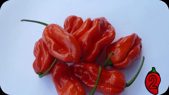habanero red carolina reaper nasiona hot chili na parapet balkon ostre papryki chilli sos