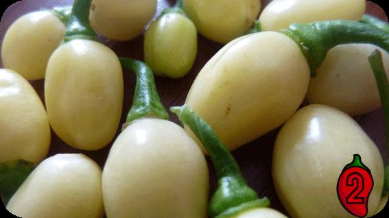 habanero white nasiona chili na parapet balkon peruvian chilli ostre papryki jedzenie sosy