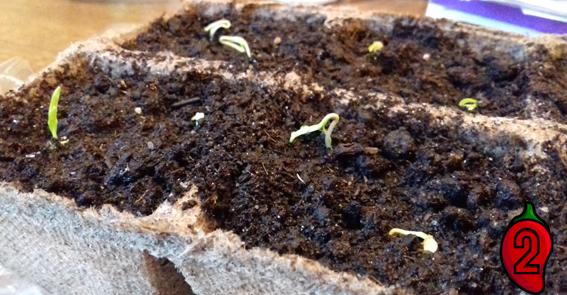 sadzenie kiełkownica kiełkowanie nasion papryka carolina reaper nasiona hot chili na parapet balkon ostre papryki chilli sosy kiełki