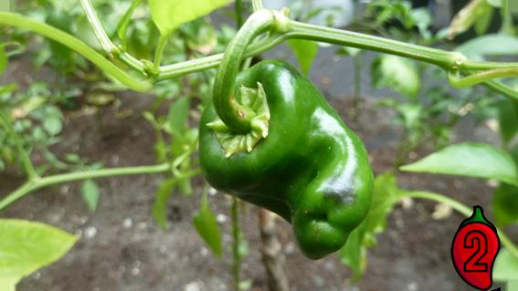 zbiory carolina nasiona trinidad apache habanero kiełkownica kiełkowanie nasion papryka carolina reaper nasiona hot chili na parapet balkon ostre papryki chilli sosy
