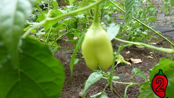 zbiory carolina nasiona trinidad apache habanero kiełkownica kiełkowanie nasion papryka carolina reaper nasiona hot chili na parapet balkon ostre papryki chilli sosy growlog