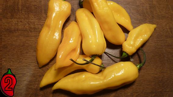 BHUT JOLOKIA yellow papryka nasiona hot chili na parapet balkon ostre papryki chilli sosy