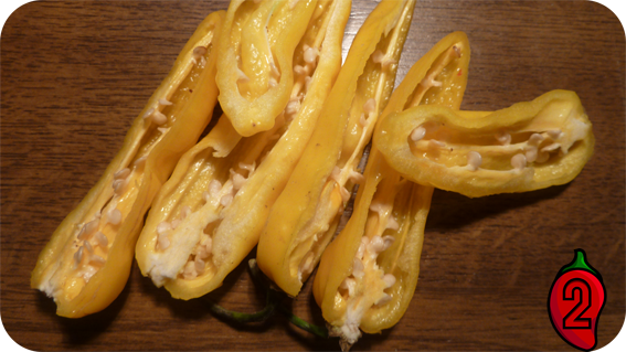 BHUT JOLOKIA yellow papryka nasiona hot chili na parapet balkon ostre papryki chilli sos