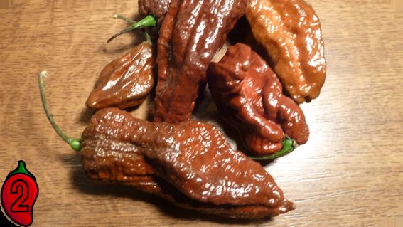 BHUT JOLOKIA chocolate papryka nasiona hot chili na parapet balkon ostre papryki chilli sosy