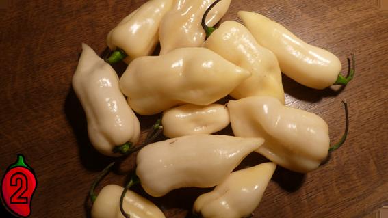 BHUT JOLOKIA white papryka nasiona hot chili na parapet balkon ostre papryki chilli sosy