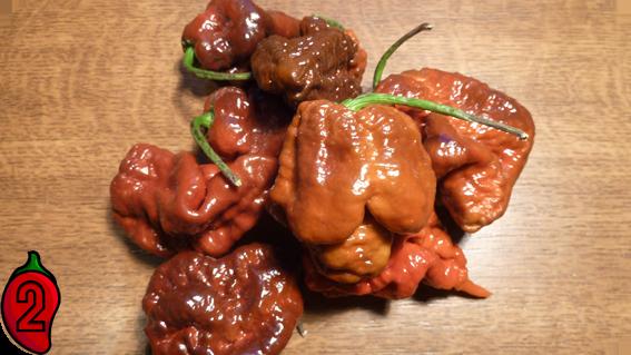 papryka carolina reaper nasiona hot chili na parapet balkon ostre papryki chilli sos 2