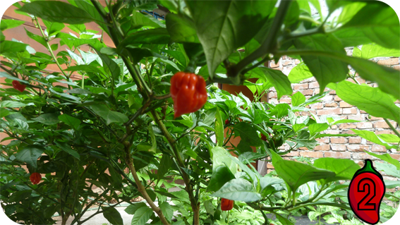 papryka carolina reaper nasiona hot chili na parapet balkon ostre papryki chilli 8