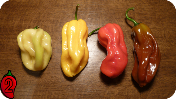 habanero red orange carolina reaper nasiona hot chili na parapet balkon ostre papryki chilli chocolate yellow