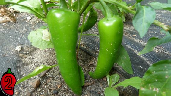 jalapeno carolina reaper nasiona hot chili na parapet balkon ostre papryki chilli sos meksyk 2