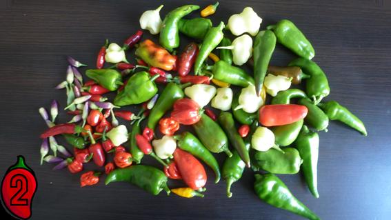 zbiory papryka carolina reaper nasiona hot chili na parapet balkon ostre papryki chilli