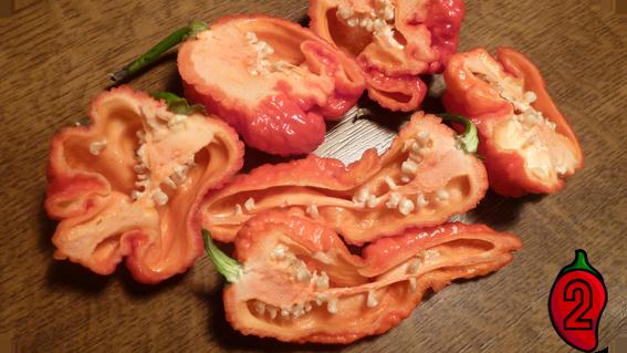 trinidad moruga scorpion red papryka nasiona hot chili na parapet balkon ostre papryki chilli sos 2
