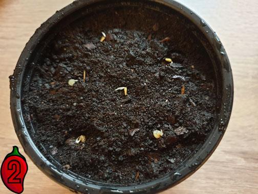 wysiew i uprawa nasiona papryk kiełki wsadzamy do ziemi
