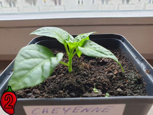 cheyenne-orange-sadzonka-papryki-ostrej-chili-przed-przycięciem