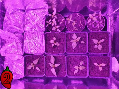 rozsady-papryki-chili-w-growboxie