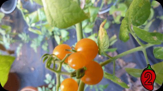 courrant gold rush cherry koktajlowy do doniczki na balkon nasiona pomidor pergole