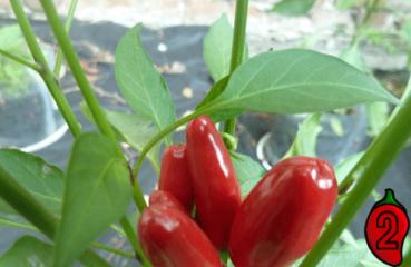 Bird's Eye papryka nasiona hot chili na parapet balkon ostre papryki chilli seeds