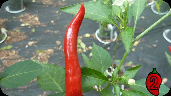 Thai Chili Rawit carolina reaper nasiona hot chili na parapet balkon ostre papryki chilli sosik