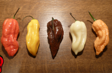 BHUT JOLOKIA papryka nasiona hot chili na parapet balkon ostre papryki chilli