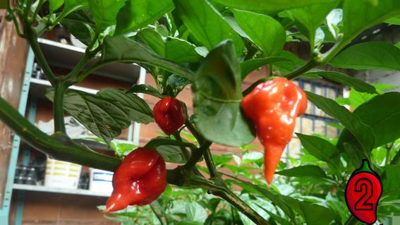 papryka carolina reaper nasiona hot chili na parapet balkon ostre papryki chilli 9
