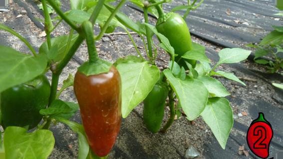 jalapeno carolina reaper nasiona hot chili na parapet balkon ostre papryki chilli sos meksyk 1