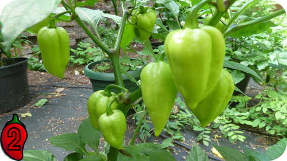 7pot douglah chili uprawa