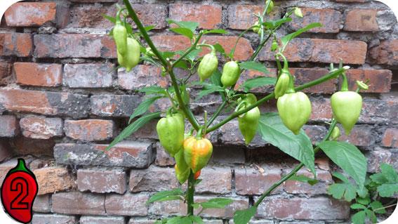 uprawa chili w doniczce