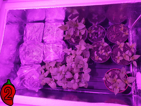 papryki-w-growboxie